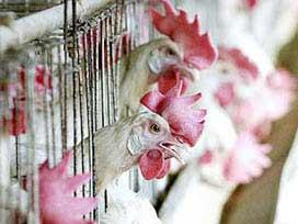 İngiltere'de Tavuk Eti Skandalı