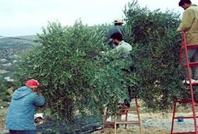 Yahudi İşgalciler 1200 Zeytin Ağacını Söktü