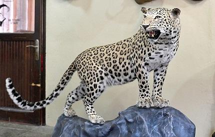 Diyarbakır'da öldürülen leopar dolduruldu