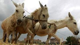Kenya'da eşek mezbahası