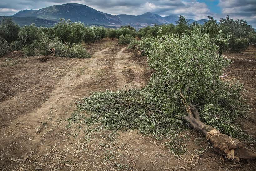 Zeytinlikleri Sanayileşmeye Açan Yasa Tasarısı  Kabul Edildi