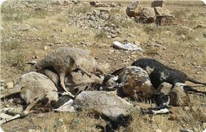 Yahudi Yerleşimci Filistinli Çiftçinin Koyunlarını Zehirledi