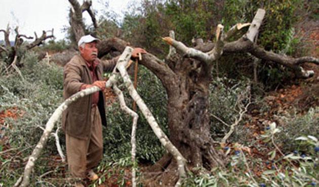 Siyonistler Zeytin Ağaçlarını Telef Etti