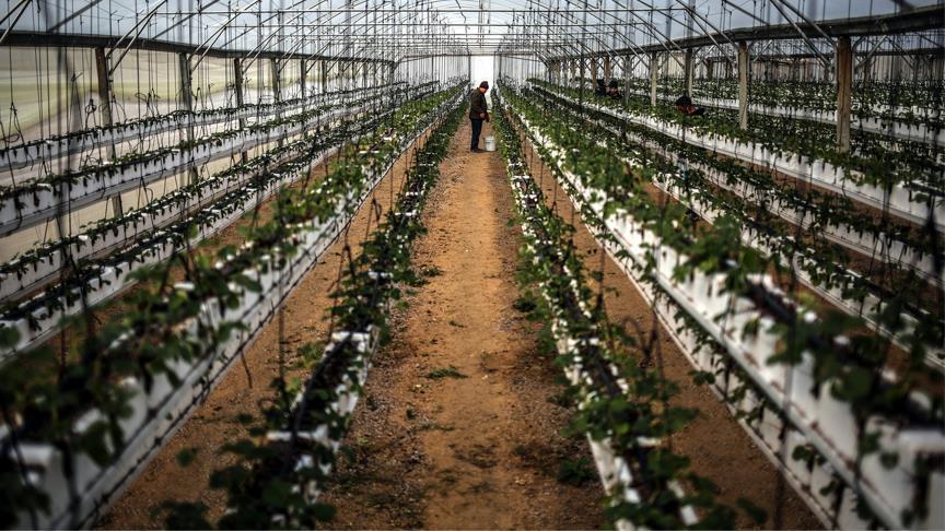 Gazze'de Çilek Yetiştiriciliği Gelişiyor