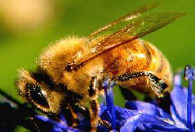 Mantar zehirlenmelerini arılar önleyecek