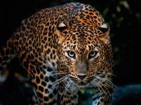 Meditasyon Yapan Keşişi Öldüren Leopar Aranıyor